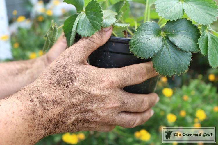 Lavender-Gardeners-Scrub-3 Make at Home Lavender Gardener's Hand Scrub DIY Summer