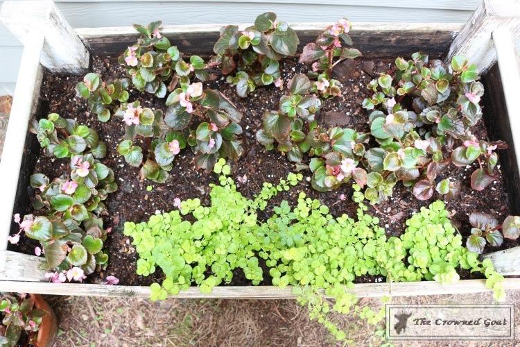 Lavender-Gardeners-Scrub-7 Make at Home Lavender Gardener's Hand Scrub DIY Summer