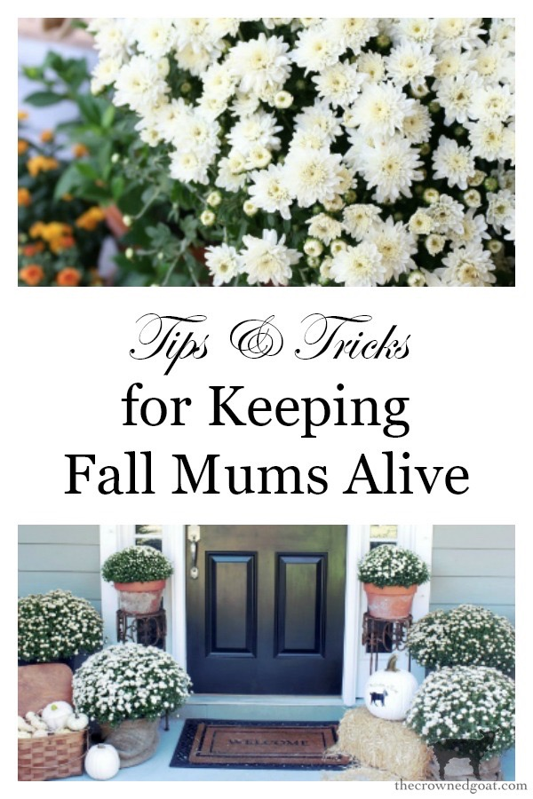 How-to-Keep-Mums-Alive-The-Crowned-Goat-13 Tips & Tricks for Keeping Mums Alive Fall