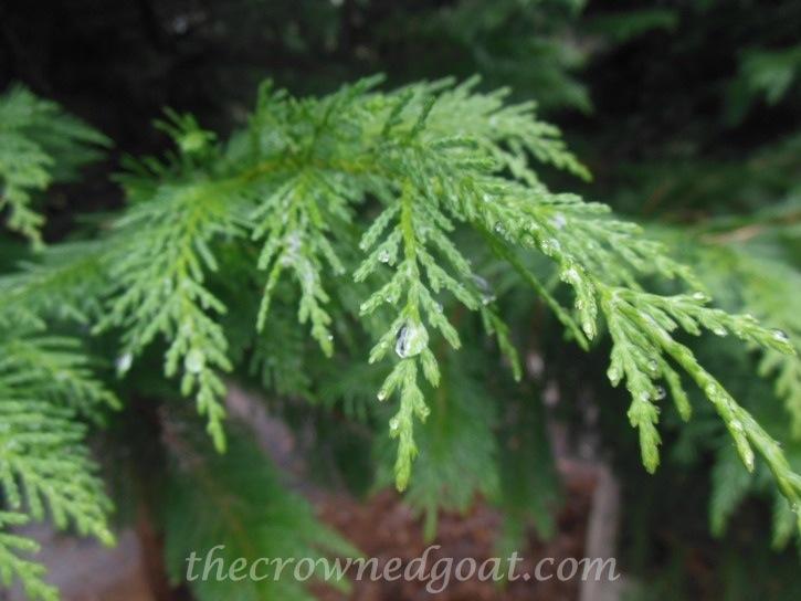 Cedar Tree in the rain