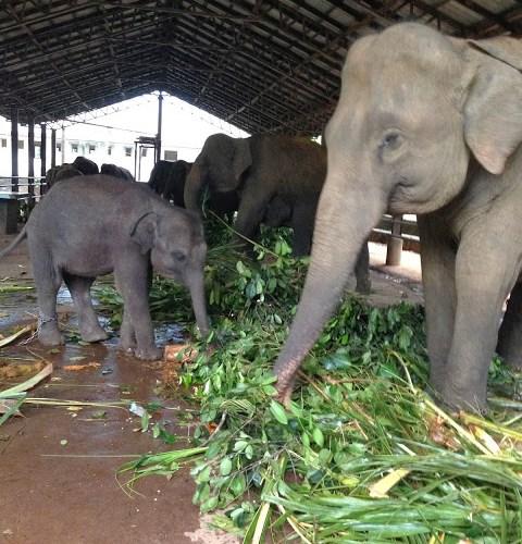 Elephants at the Pinnawala Elephant Orphanage.