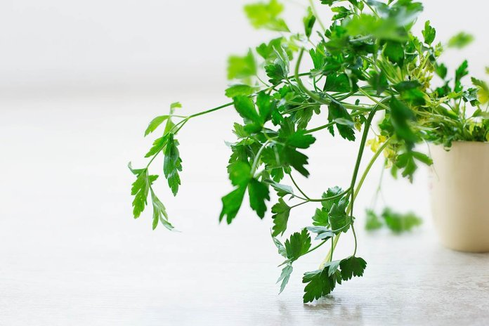 fresh parsley herb