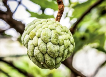 Fruta do conde (sugar-apple) on the tree