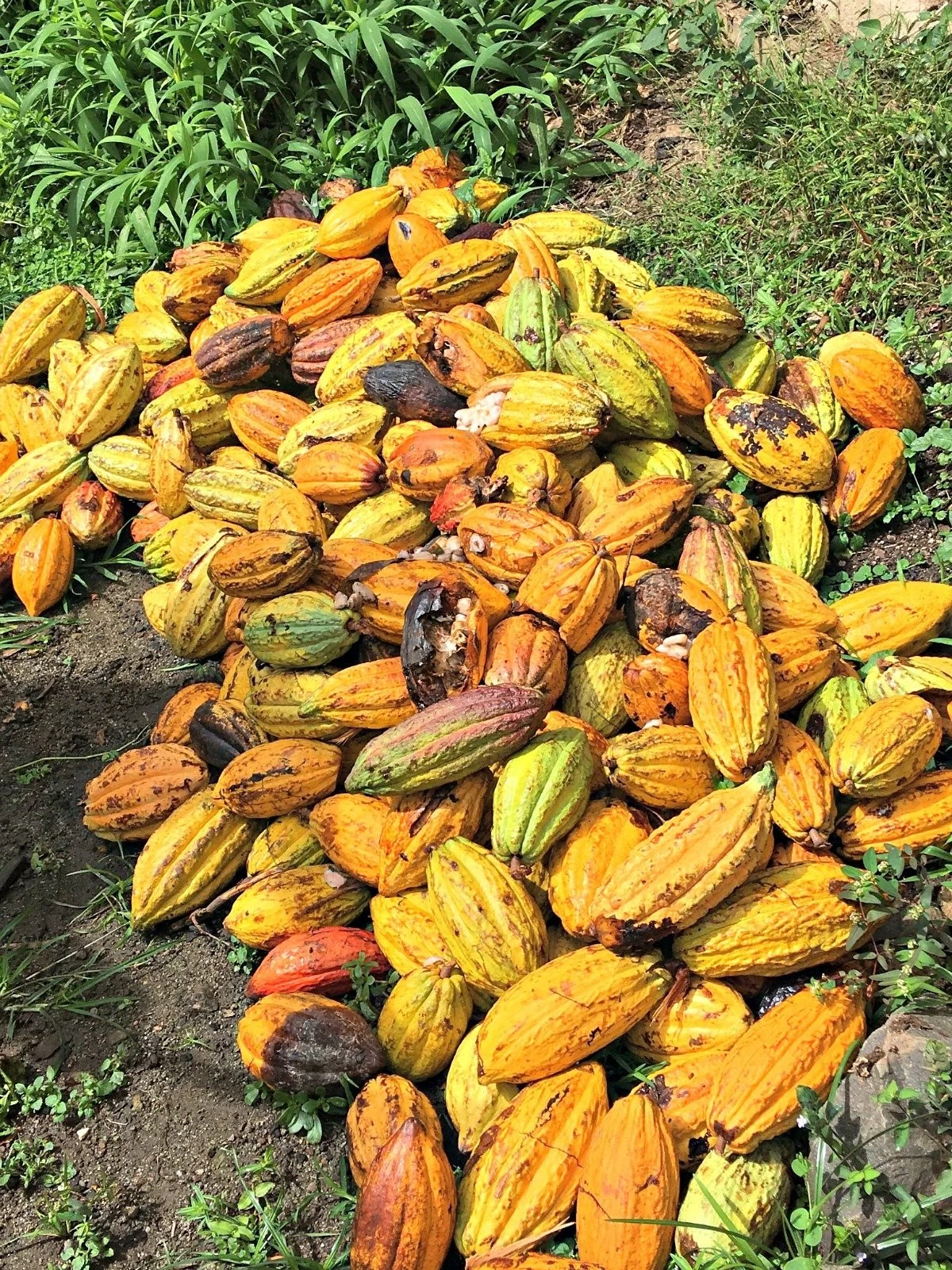 yellow pods of cacao