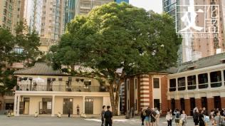 前中區警署建築群保育方案中,這一棵60年的芒果樹是重點保育項目,它是大館人的集體回憶,當年也只有警隊高層如一哥才有資格品嚐。