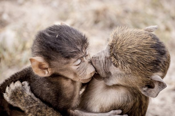 Two-adorable-little-monkeys-share-a-smooch