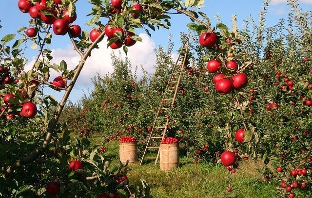Apple Orchard with apples on branches and ladders leaning on trees