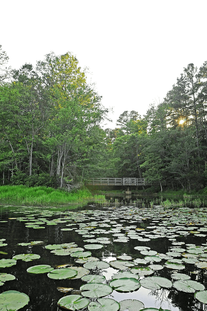 Quirky Texas Lilly Pond