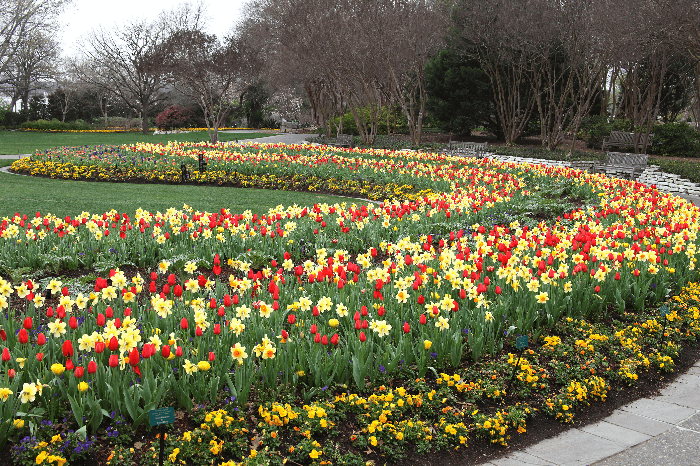 beds of yellow and red tulips