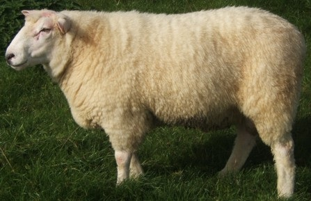 Julys Featured Sheep Breed  The Galway Sheep  The Curious Ewe