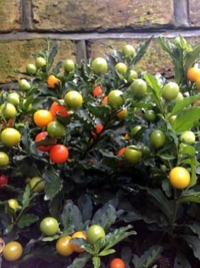 Jerusalem_Christmas_winter_Cherry_care_grow_a-curious-gardener_1