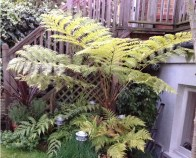 Lacy-Tree-Fern-Cyathea-Cooperi-crozier_a_curious_gardener_2