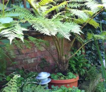 Lacy-Tree-Fern-Cyathea-Cooperi-crozier_a_curious_gardener_5