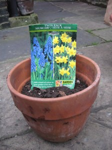 planting_bulbs_container_muscari_tete-a-tete_curious_gardener