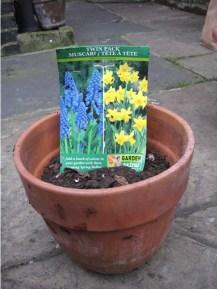 planting_bulbs_container_muscari_tete-a-tete_curious_gardener