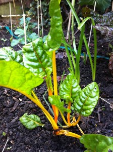 rainbow_chard_grow_healthy_curious_gardener