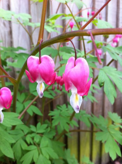 dicentra-bleeding-heart-a-curious-gardener-how-to-grow-image-1