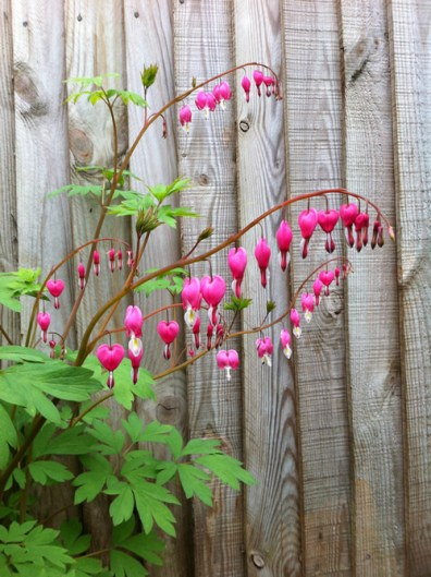 dicentra-bleeding-heart-a-curious-gardener-how-to-grow-image-3