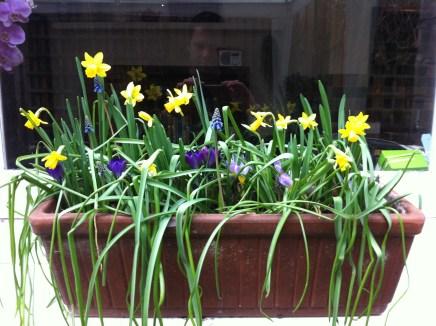 tete-a-tete-daffodils-a-curious-gardener_container-bulbs