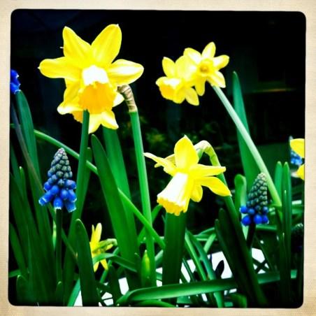 tete-a-tete-daffodils-a-curious-gardener_container_close