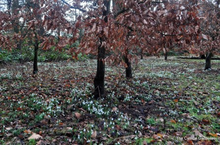 Snowdrops covering the woodland floor.