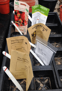 Tomato Seed Sowing.
