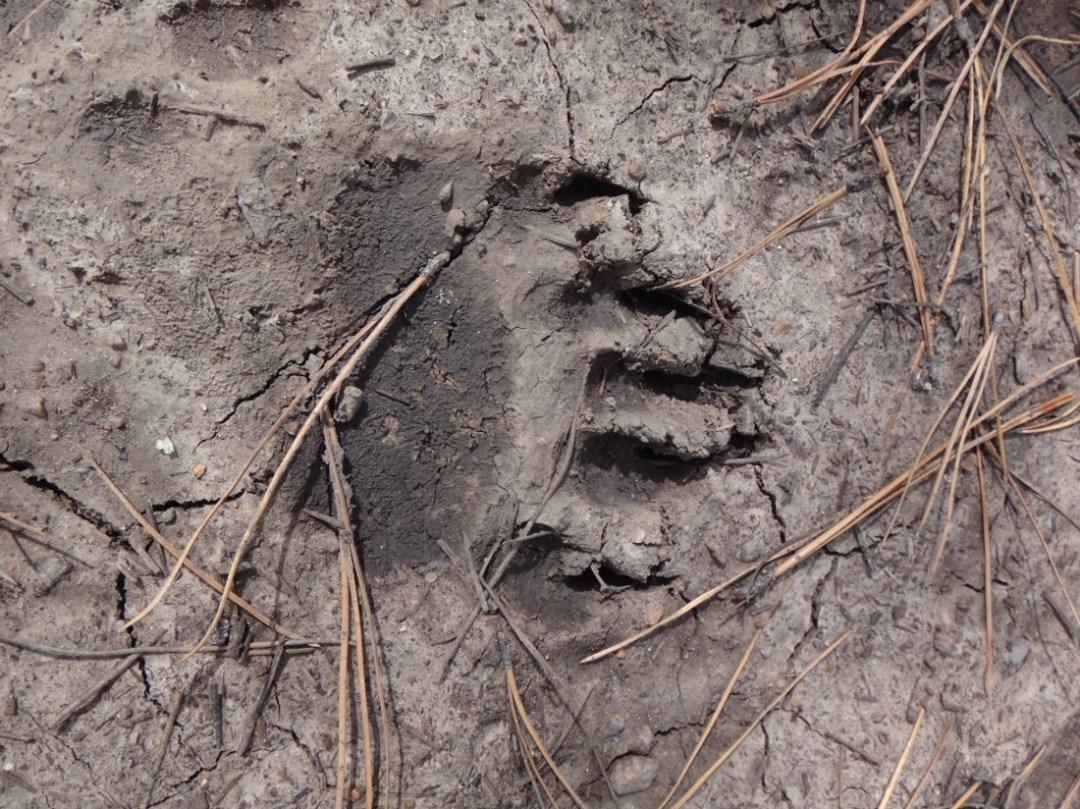 bear track in myd