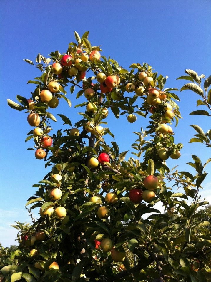 A little apple love from Narrow Lane Orchard in North Kingstown, RI