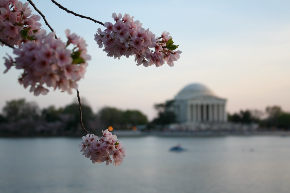 Where are the cherry blossoms in DC
