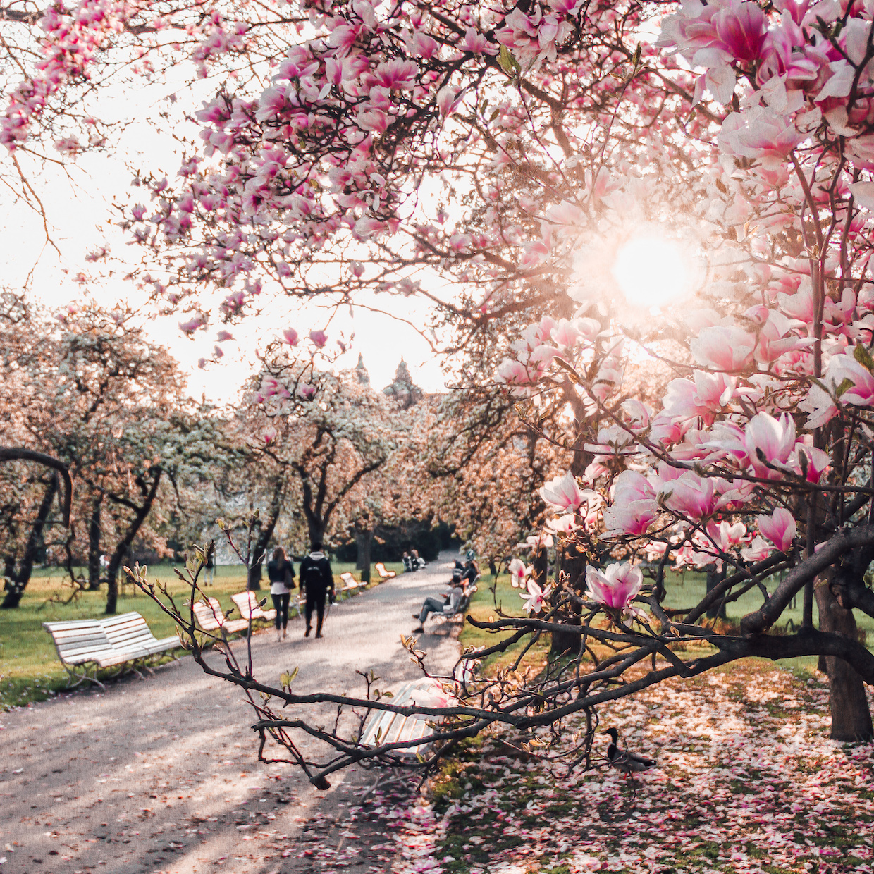 Where to view cherry blossoms in Europe