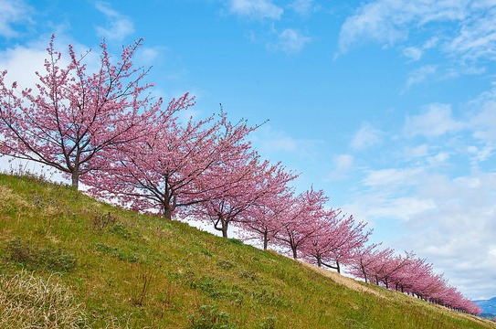 Cherry blossoms in Kawazu-zakura by peaceful-jp-scenery on Flickr cherry trees in spring