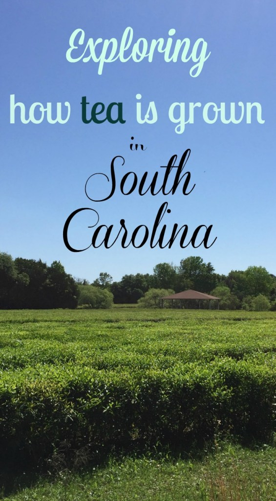 Road Trip around Charleston, South Carolina. Visit a tea plantation right outside of Charleston. #SouthCarolina #USTravel #USA #daytripsoutsideofCharleston