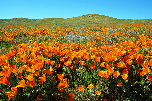 Seeing the poppy fields is one of my top things to do in southern California. www.thedailyadventuresofme.com