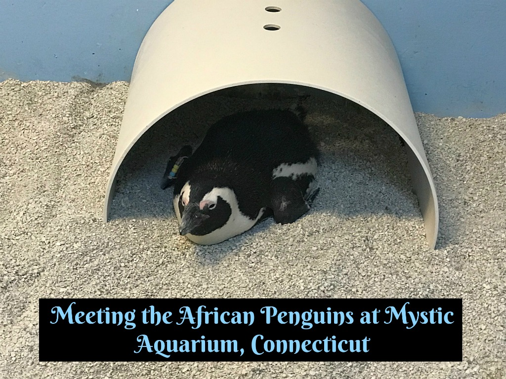 Meeting a Penguin in Mystic, Connecticut!
