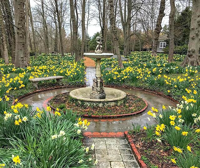 Daffodils in Bristol, Rhode Island.