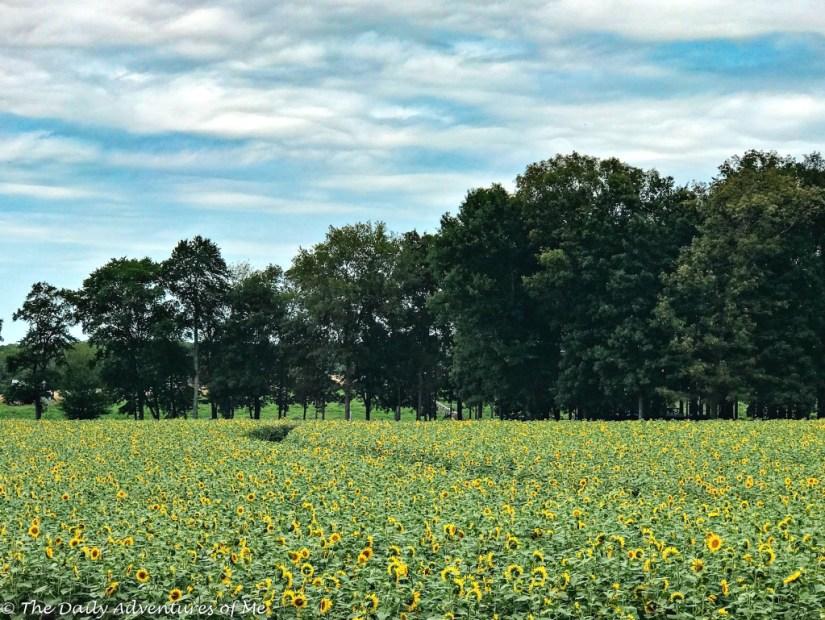 Sunflower fields in Connecticut