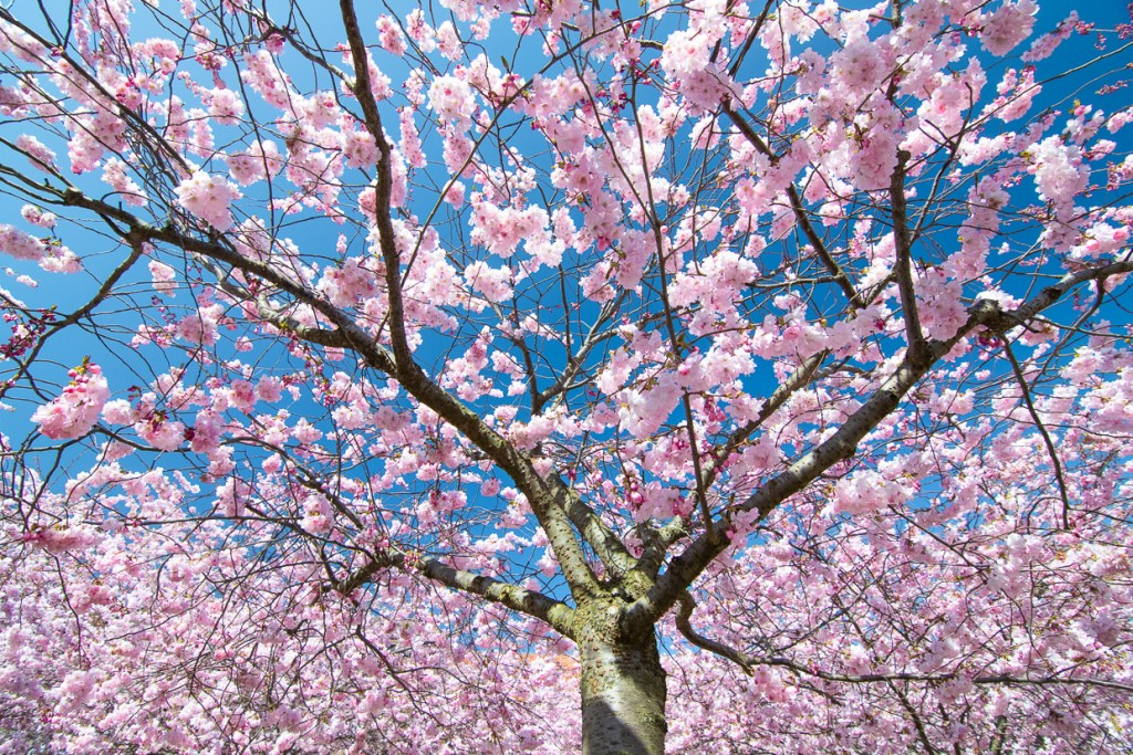 Where to find Cherry blossoms in Sweden