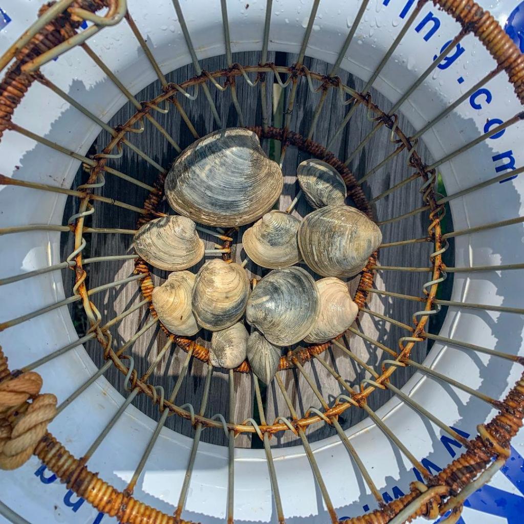 Where to find quahogs in Rhode Island