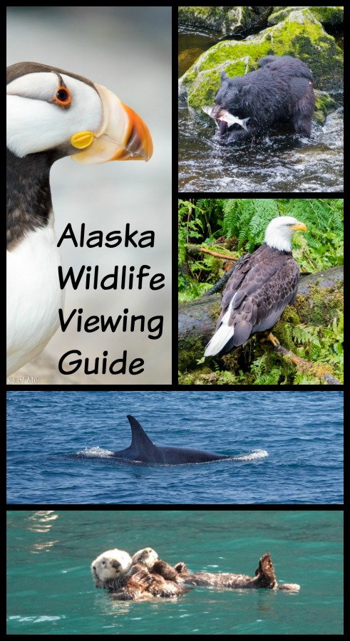 Headed to Alaska and want to maximize your viewing of Alaska wildlife? Read on for tips and trips about when and where to best see animals in Alaska. #Alaska #wildlife #Alaskanwildlife #c2cgroup #animalsinAlaska