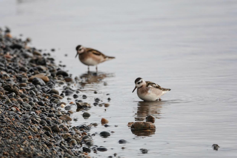 birds in Barrow, Alaska