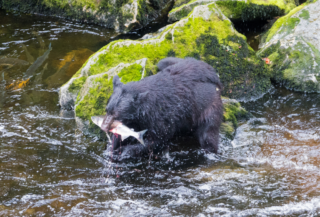 Where to see bears catching salmon in Alaska