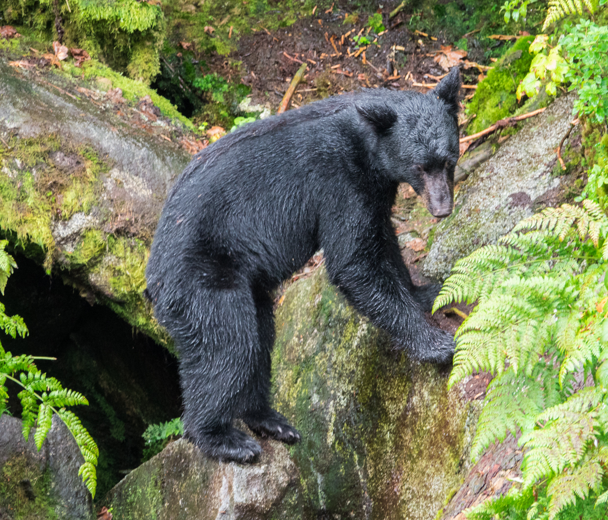 Where to find black bears in Alaska.