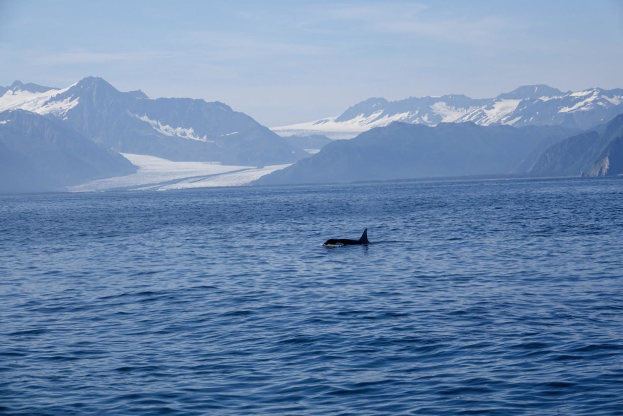 Where to find Orca Whales in Alaska