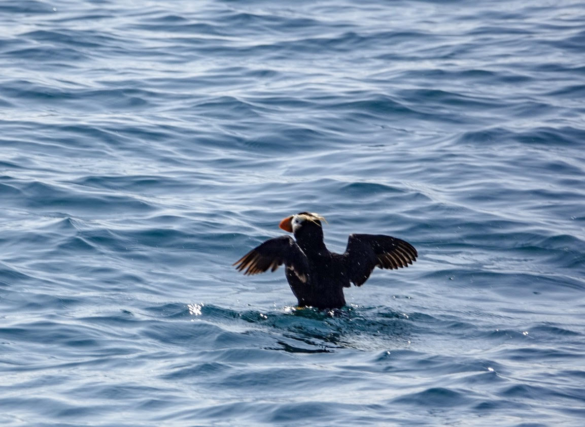 How to find puffins in Alaska