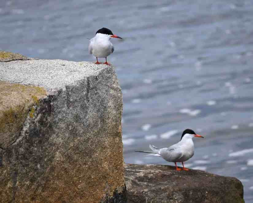 Common Sea Birds in Rhode Island