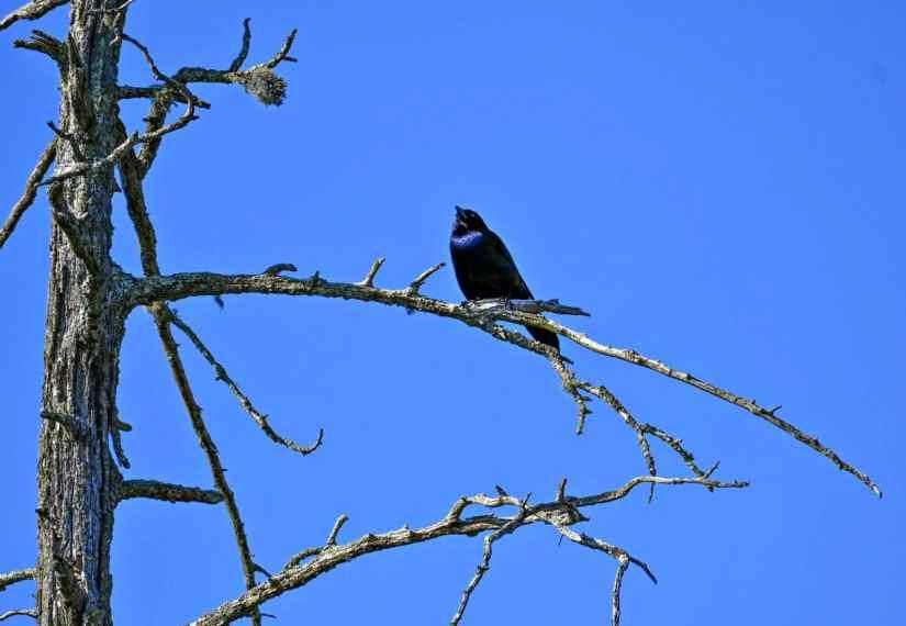 Rhode Island blackbirds