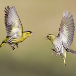 Researchers seek help to track garden finches