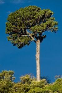 1075390_giant_tree_41