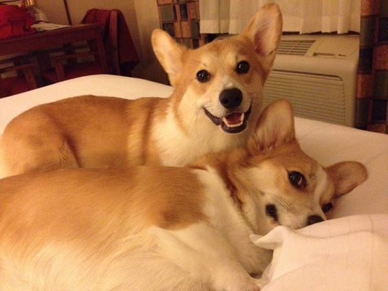 corgis in bed the