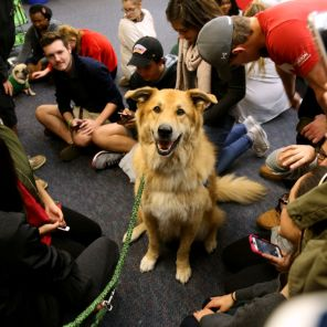 Paws and Relax's therapy dogs will be on campus at the M.D. Anderson Library on Tuesday and Thursday from 7 to 9 p.m and on Wednesday from 2 to 4 p.m. | Irina Alejandro/The Cougar